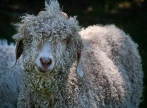 angora-goat-curly