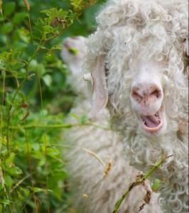 angora-goat-grass