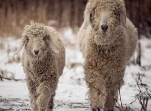goat-angora-snow